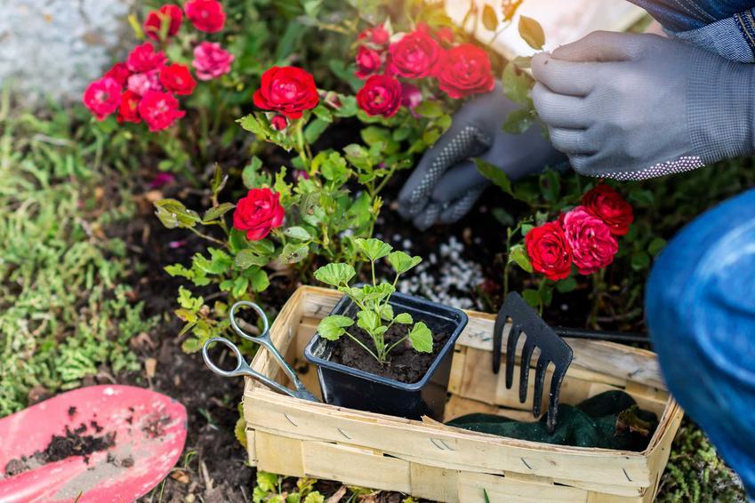 Rozmnażanie róż przez podział, a także jak rozmnażać róże, czyli sposób na rozsadzanie róż