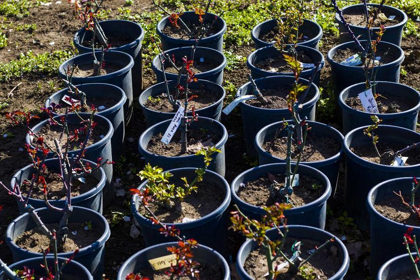 Sadzonki róż w małych doniczkach, a także jak wybrać sadzonki róż, sadzenie oraz ceny krok po kroku