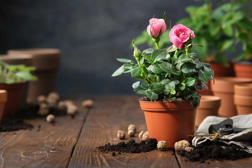 Sadzonki róż w doniczce, a także informacje, jak wybrać sadzonki róż, a także rodzaje, wielkość oraz ceny róż różnych gatunków