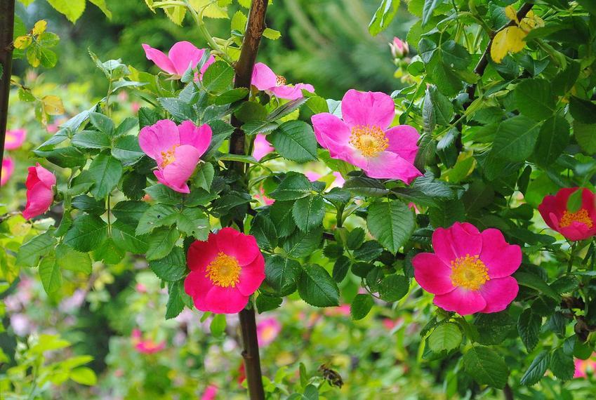 Dzika róża cała w różowych kwiatach, a także sadzonki dzikiej róży uprawianej na owoce krok po kroku