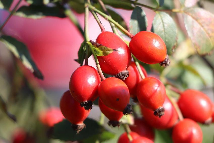 Czerwone owoce dzikiej róży, a także sadzonki dzikiej róży na owoce, cena, sadzenie, zastosowanie