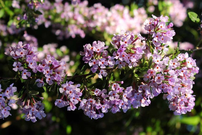 Budleja skrętolistna o fioletowych kwiatach, a także budleja skrętolistna bez tajemnic, uprawa, pielęgncja oraz cięcie