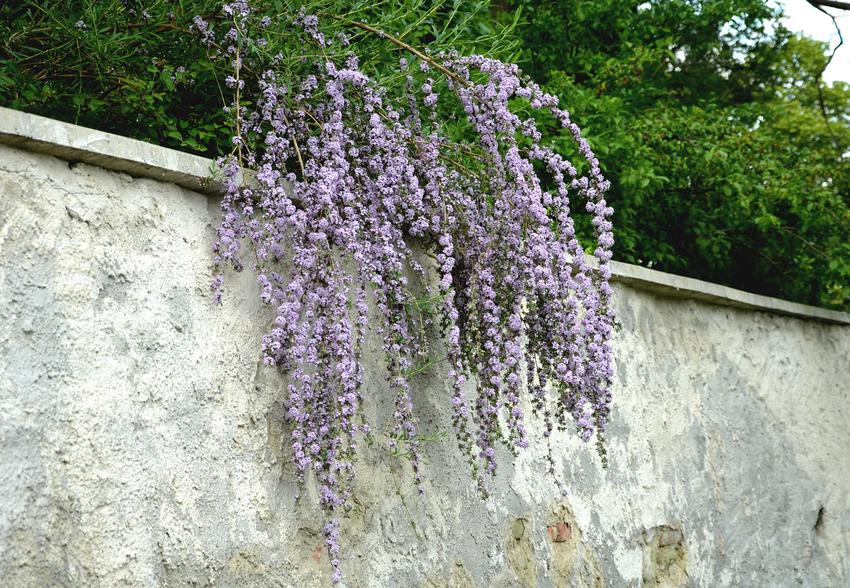 Budleja skrętolistna zwisająca w ogrodzie, a także uprawa, pielęgnacja, cięcie oraz sadzenie krzewu