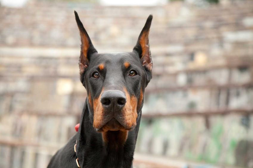 Głowa psa dobermana, a także cena dobermana, czyli ile kosztują szczenięta z renomowanej hodowli