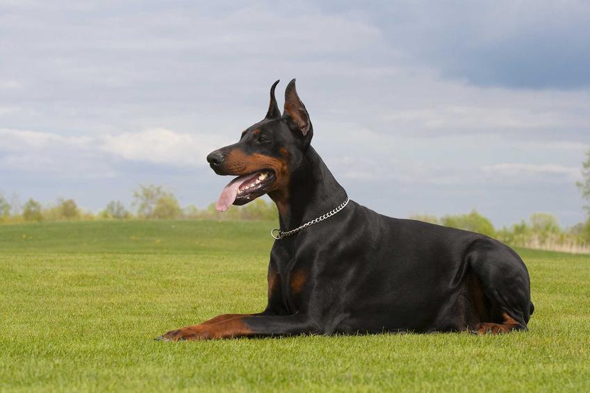 Doberman leżący na trawie, a także cena dobermana a także koszty i ile kosztuje szczenię psa rasy doberman krok po kroku