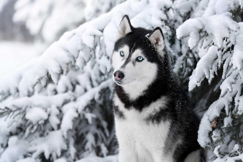 Husky o niebieskich oczach siedzący przy drzewku obsypanym śniegiem, a także cena psa rasy husky i koszt szczeniaków z hodowli ZKwP