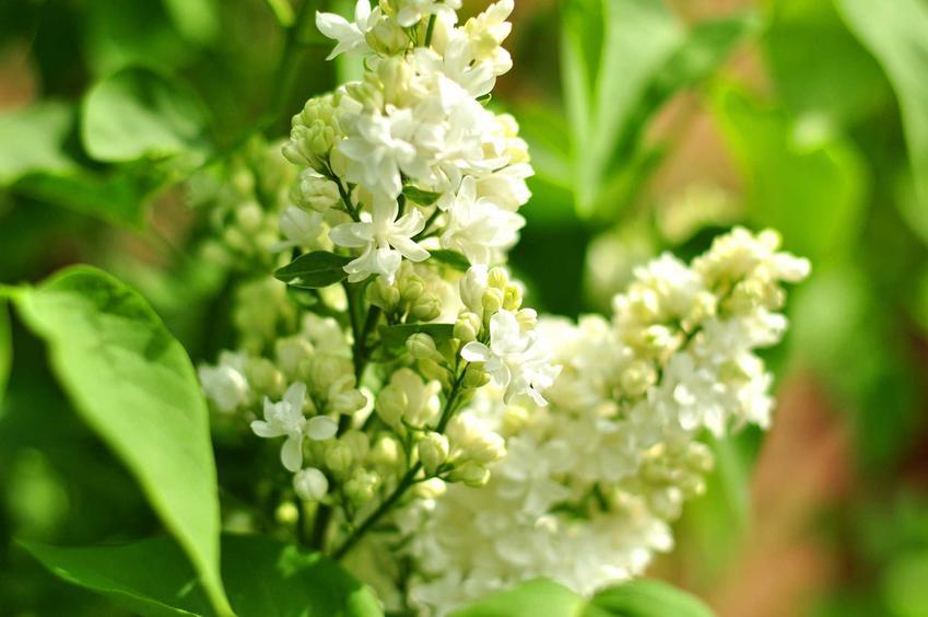Białe kwiaty bzu lilaka, a także bez lilak w ogrodzie, sadzenie, odmiany oraz pielęgnacja przez cały rok