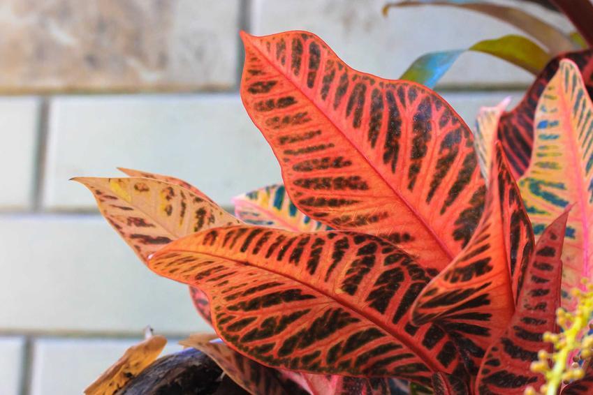 Liście trójskrzynu lub krotonu o czerwono-zielonym kolorze, a także odmiany, pielęgnacja w ogrodzie i w doniczce oraz sadzenie