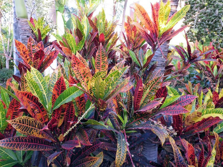 Trójskrzyn o zielonych i czerwonych liściach, a także odmiany, pielęgnacja, sadzenie i opis nietypowej rośliny