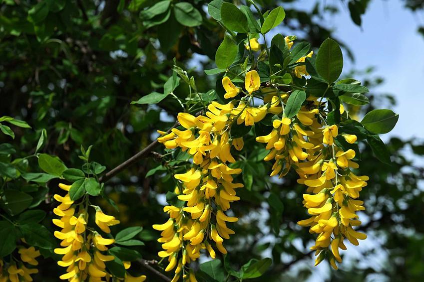 Kwiaty złotokapu na drzewie, a także najciekawsze gatunki i odmiany, uprawa oraz pielęgnacja w ogrodzie w naszych warunkach klimatycznych