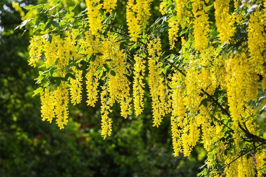 Złotokap o żółtych zwisających kwiatach w ogrodzie, a także gatunki, uprawa oraz pielęgnacja krok po kroku