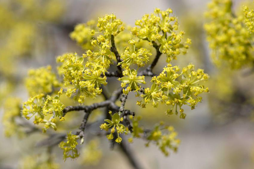 Delikatne kwiaty derenia jadalnego w ogrodzie, opis gatunku, uprawa oraz pielęgnacja