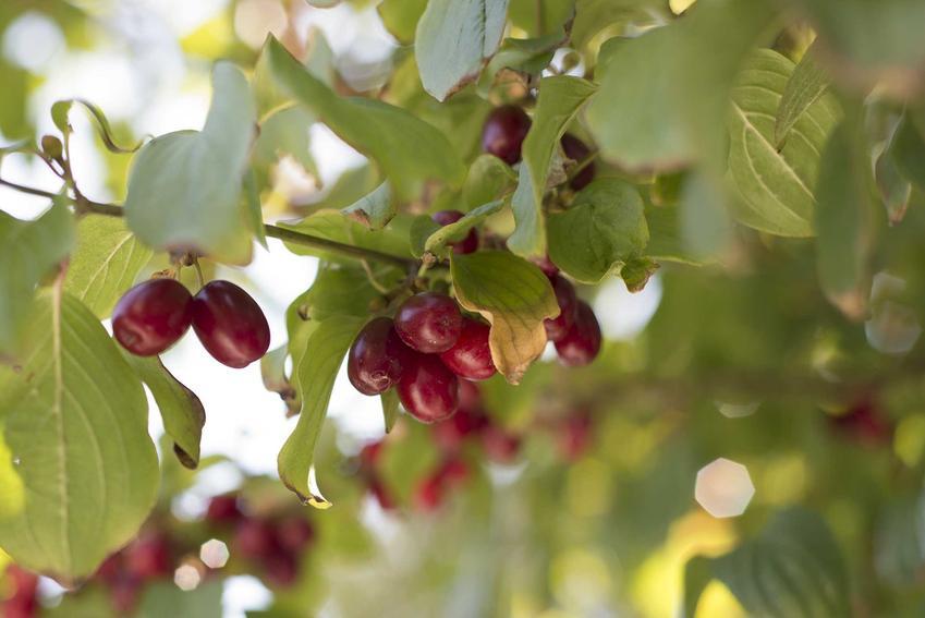 Czerwone owoce derenia jadalnego, a także dereń jadalny w ogrodzie krok po kroku, uprawa oraz pielęgnacja