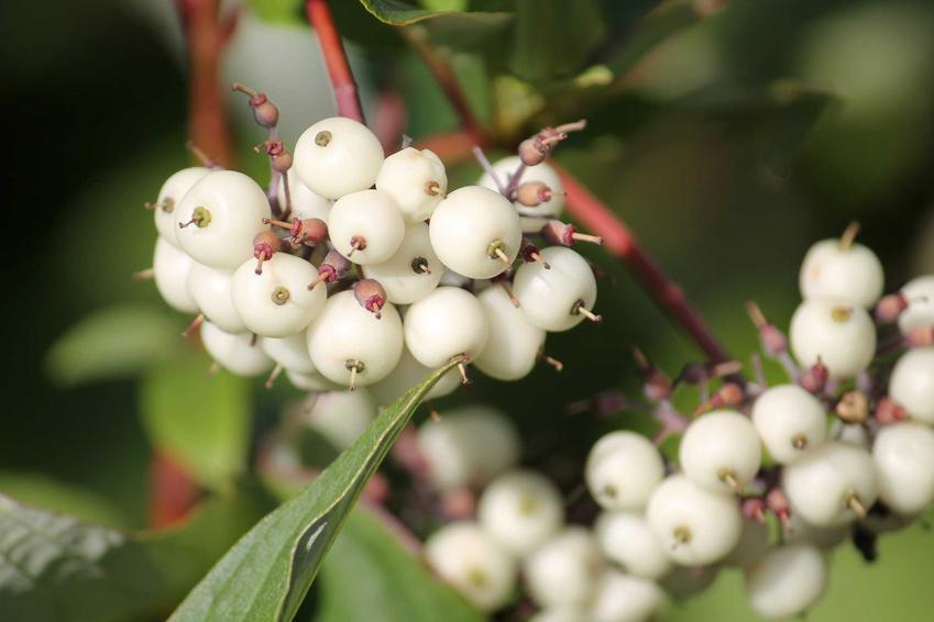 Białe owoce derenia białego w ogrodzie, a także uprawa, pielęgnacja oraz wymagania rośliny krok po kroku