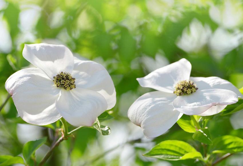 Dwa białe kwiaty derenia kwiecistego i zastosowanie rośliny, a także jej odmiany, uprawa oraz sadzenie