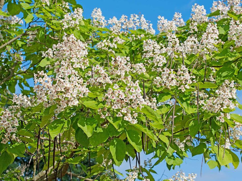 Katalpa o białych kwiatach, czyli surmia w okresie kwitnienia, a także opis gatnku, uprawa i pielęgnacja