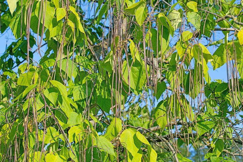 Owoce katalpy, czyli surmii, a także opis gatunku, pielęgnacja, uprawa i sadzenie w ogrodzie