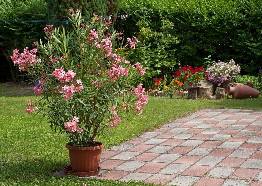 Oleander w doniczce wystawiony w ogrodzie, a także przycinanie oleandra, a także jak i kiedy przycinać oleandry