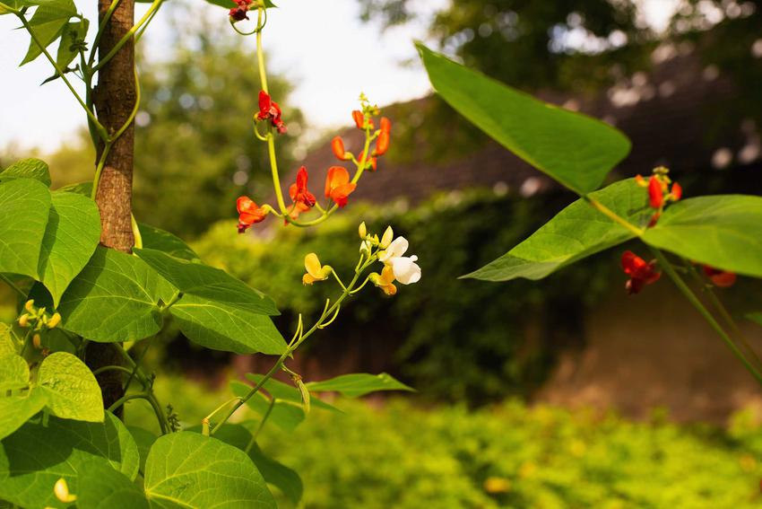 Fasola szparagowa na tyczkach, a także jak rośnie fasolka szparagowa krok po kroku, czyli jak sadzić i uprawiać fasolkę szparagową