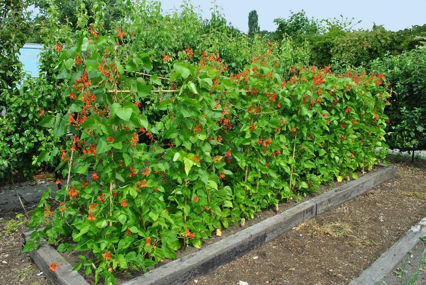 Fasola wielokwiatowa w ogodzie o czerwonych kwiatach, a także odmiany, gatunki, uprawa i pielęgnacja
