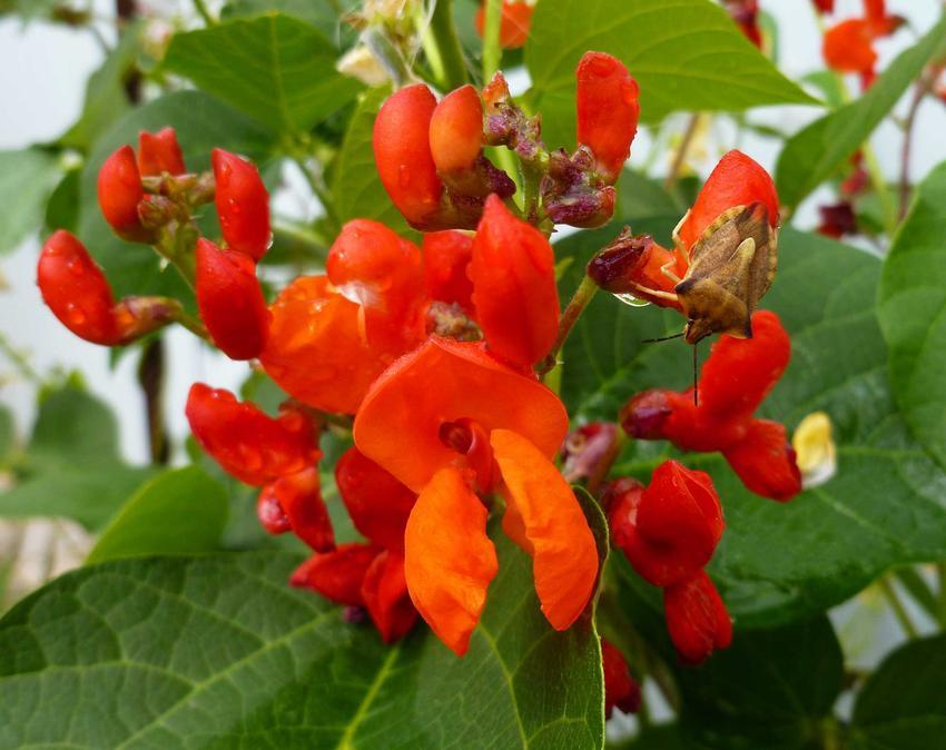 Fasola wielkokwiatowa o pomarańczowych kwiatach, a także odmiany, pielęgnacja, uprawa oraz sadzenie