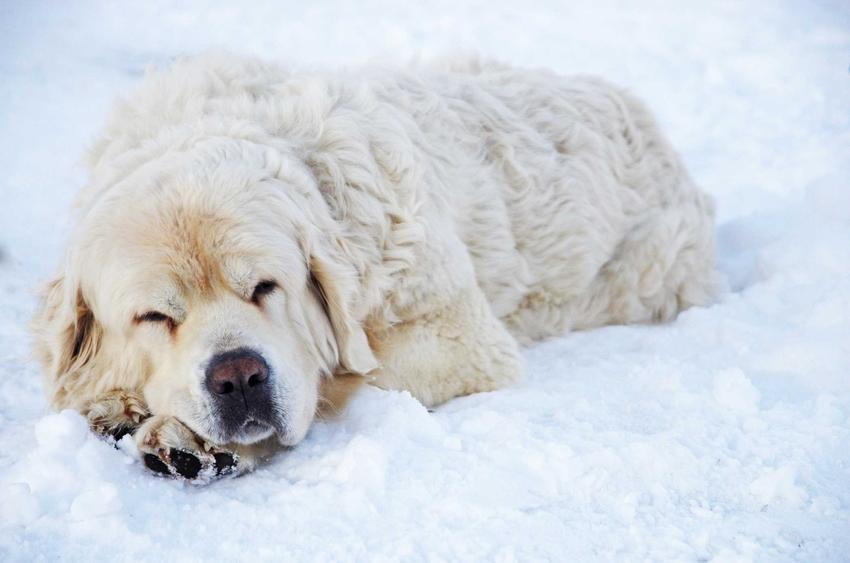Owczarek podhalański leżący na śniegu, a także cena owczarka podhalańskiego, czyli ile kosztuje owczarek