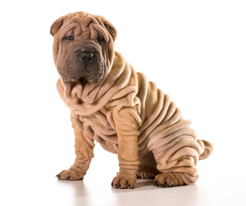Pies Shar Pei o biszkoptowej maści, a także ile kosztuje szczeniak Shar Pei z rodowodem