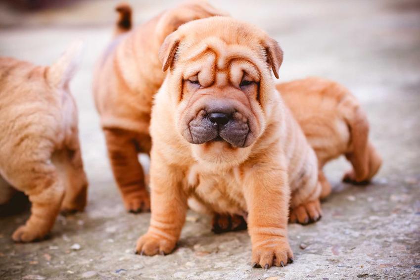 Szczenięta psa rasy Shar Pei, a także ile kosztuje szczeniak Shar Pei z hodowli z rodowodem