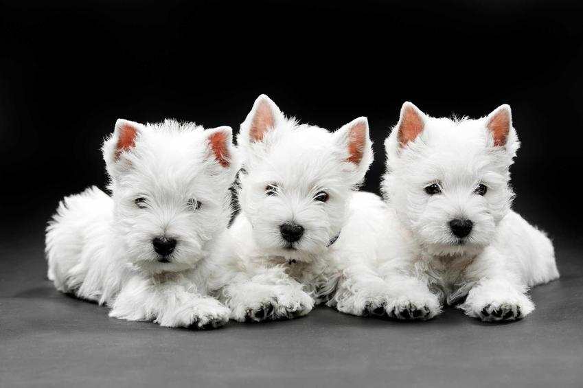 Szczeniaki rasy West Highland White Terrier, a także ile kosztuje pies tej rasy oraz koszty szczeniaka z rodowodem