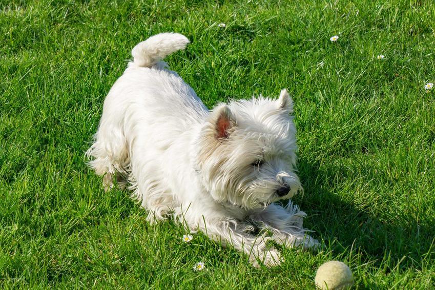 Pies rasy West Highland White Terrier bawiący się piłką w ogrodzie, a także informacje, ile kosztuje szczenię rasy West Highland White Terrier