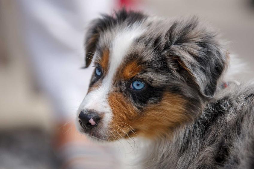 Szczenię owczarka australijskiego o niebieskich oczach, a także cena szczeniaka owczarka australijskiego oraz koszt szczeniaków