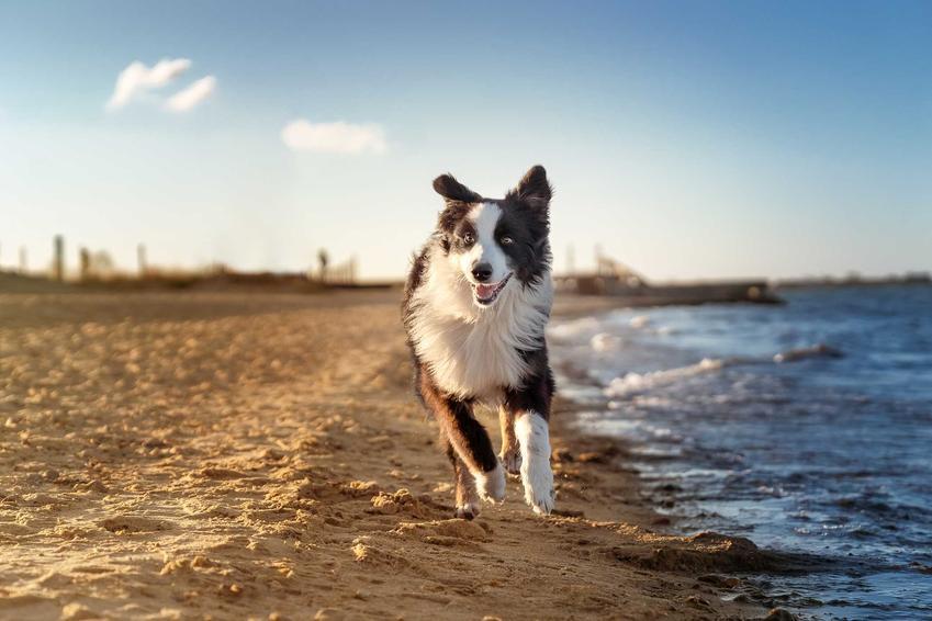 Owczarek australijski biegnący wzdłuż morza, a także cena psa rasy owczarek australijski, czyli koszt szczeniąt owczarka z rodowodem krok po kroku