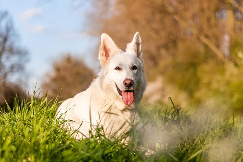 Biały owczarek szwajcarski bawiący się w trawie, a także cena owczarka szwajcarskiego, czyli ile kosztuje owczarek szwajcarski