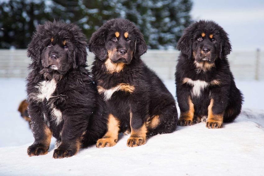 Trzy szczeniaczki mastifa tybetańskiego bawiące się w śniegu, a także cena mastifa tybetańskiego krok po kroku