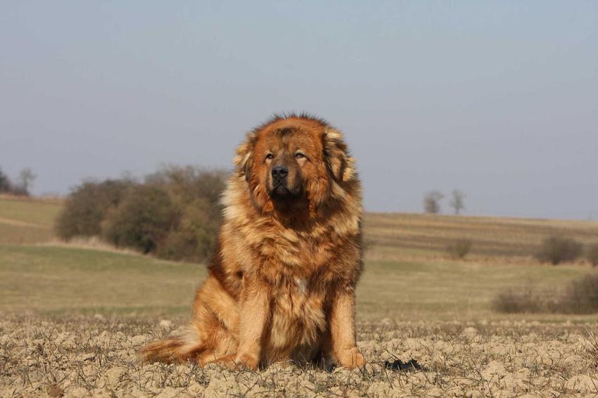Mastif tybetański o brązowej sierści, a także ile kosztuje mastif tybetański z hodowli