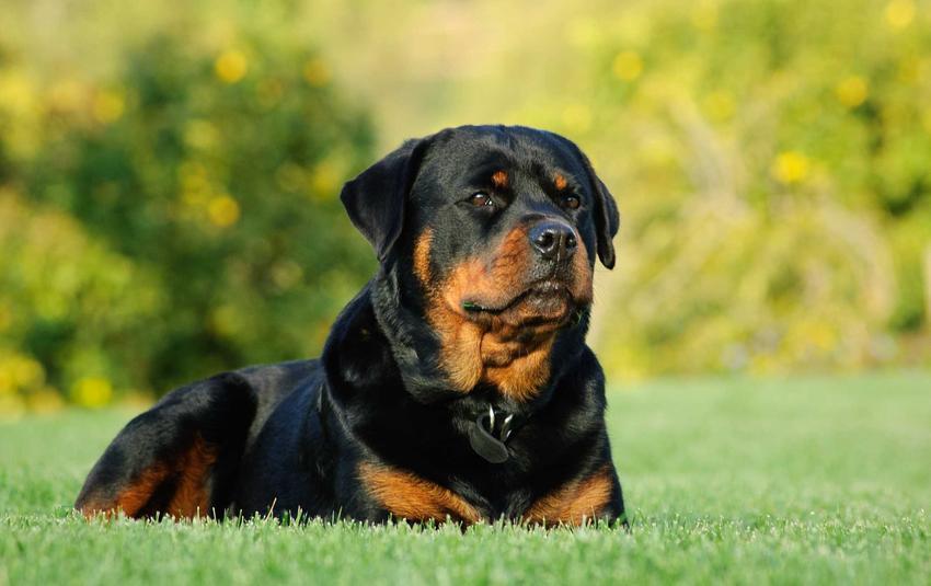 Rottweiler leżący na trawie, a także cena rottweilera, czyli ile kosztuje szczenię z hodowli