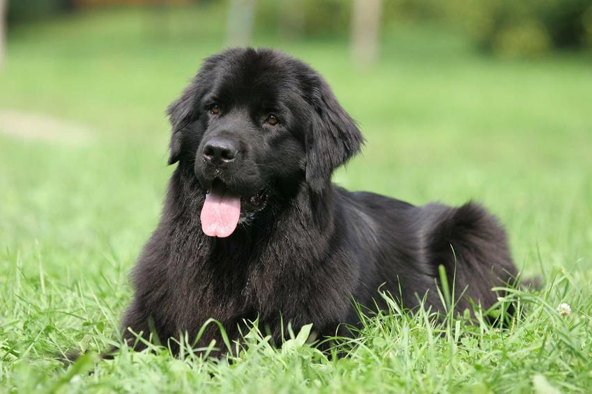Nowofunland leżący na trawie, a także ile kosztuje szczenię psa nowofunland krok po kroku