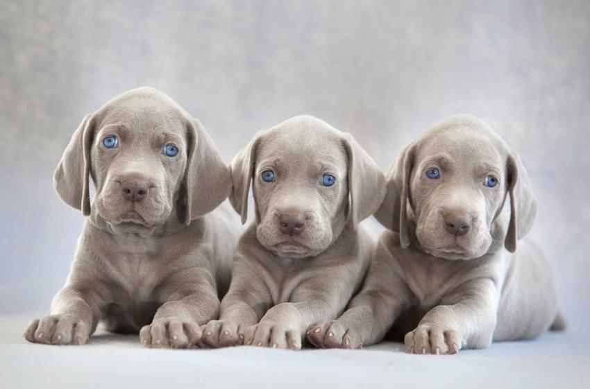 Trzy szczeniaki wyżła weimarskiego o niebieskiej sierści, a także cena szczeniaka rasy wyżeł weimarski