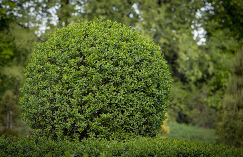 Ligustr pospolity uformowany w kulę w ogrodzie, a także opis, sadzenie oraz uprawa i pielęgnacja