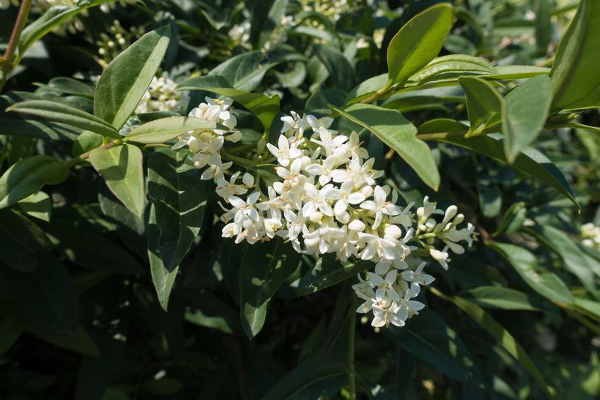 Kwiaty ligustru pospolitego wśród ciemnozielonych liści, a także opis, sadzenie oraz pielęgnacja