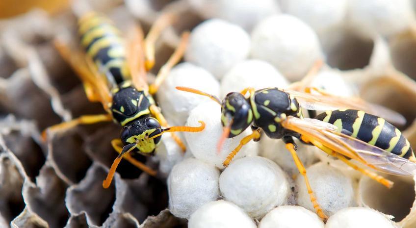 Szerszenie w gnieździe, a także informacje, jak usunąć gniazdo szerszeni w pobliżu domu w bezpieczny sposób, praktyczne porady