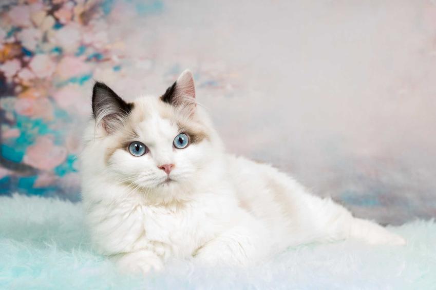 Biały kot ragdoll wylegujący się na poduszkach, a także jaka jest cena ragdoll, czyli ile kosztuje kociak z rodowodem