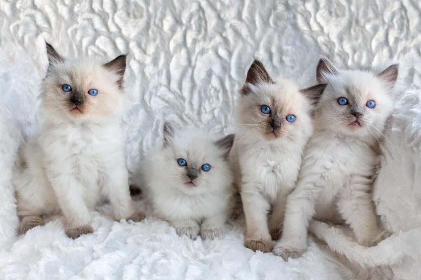 Kocięta rasy ragdoll o czarnych uszkach, a także jaka jest cena ragdoll, ile kosztuje kociak z rodowodem