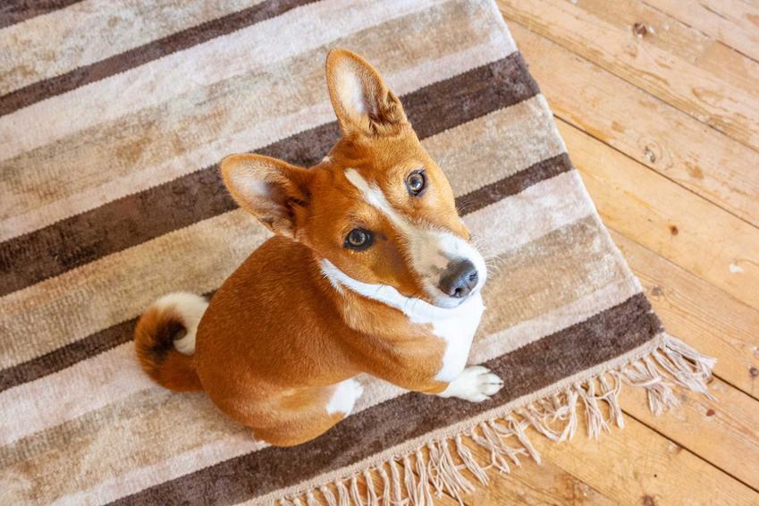 Pies basenji siedzący na dywaniku, a także cena basenji i ile kosztuje szczeniak tej rasy z hodowli