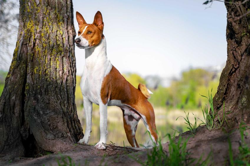 Pies basenji stojący między drzewami, a także cena basenji, czyli ile kosztuje szczenię z rodowodem