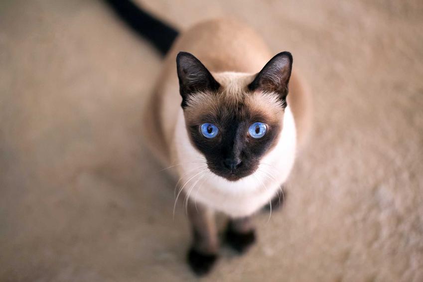 Kot syjamski o niebieskich oczkach, a także cena kocięcia rasy kot syjamski z hodowli z rodowodem