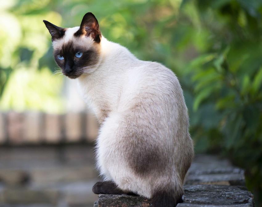 Biały kot syjamski z czarnymi uszkami i niebieskimi oczkami, czyli ile kosztuje kot syjamski, czyli cena kota z rodowodem