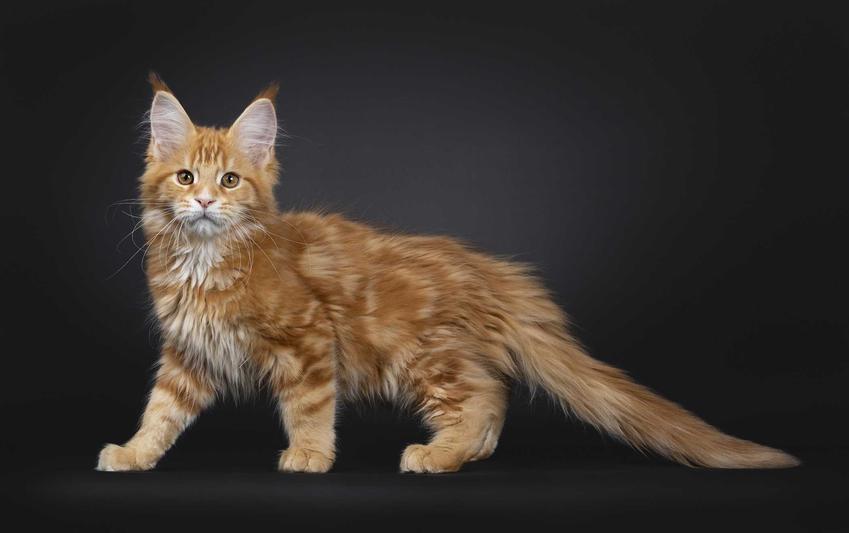 Kociak rasy maine coon, a także cena kota tej rasy oraz ile kosztuje młody kociak z hodowli