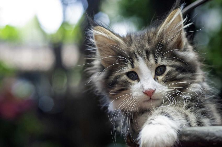 Kocię norweskiego kota leśnego o niebieskich oczkach, a także ile kosztuje norweski kot leśny z hodowli