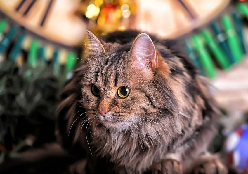 Duży dorosły norweski kot leśny, a także cena kota tej rasy i ile kosztuje młode kocię norweskiego kota leśnego z hodowli